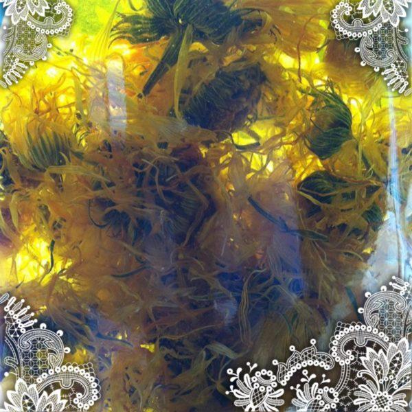 Calendula - Calendula officinalis - In Oil