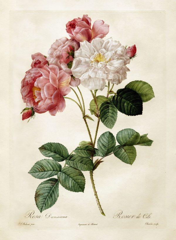 Rosa-damanscena - botanical