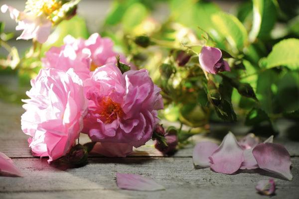 Rosa-damanscena - photo