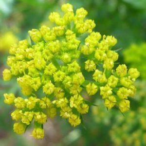 Lomatium