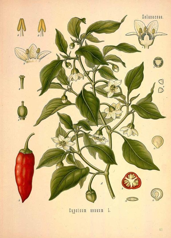 Capsicum annuum - botanical