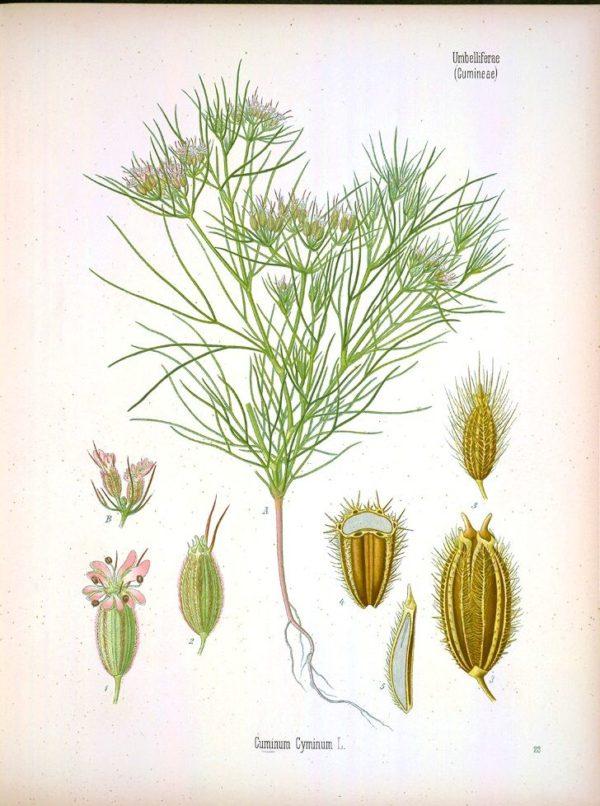 Cuminum cyminum botanical