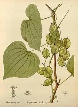 Wild Yam - Botanical Drawing