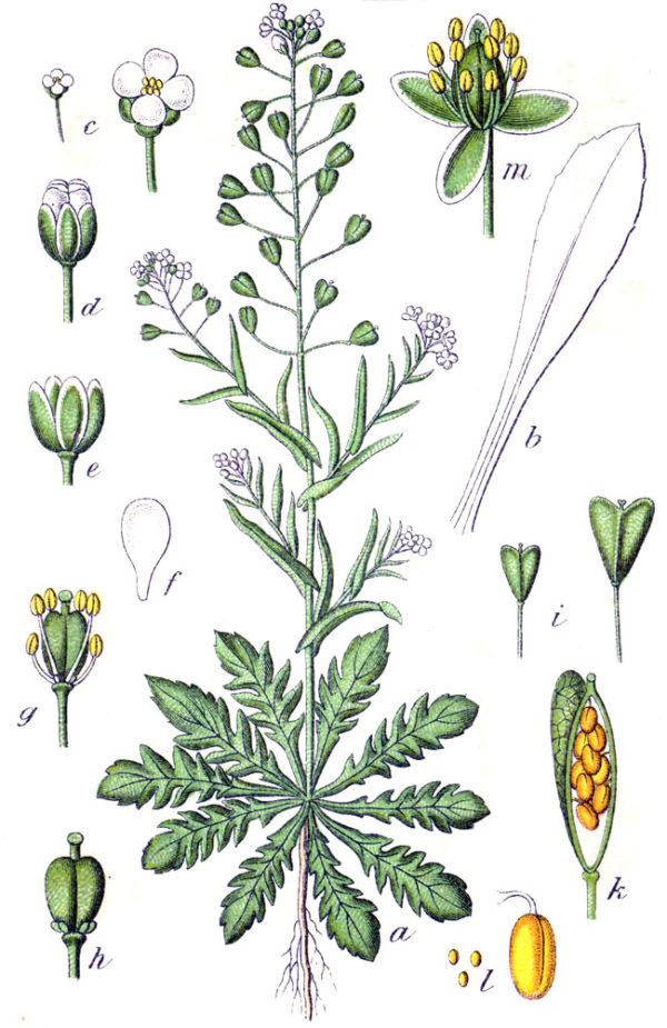 Shepherd's Purse - Capsella_bursa-pastoris - botanical