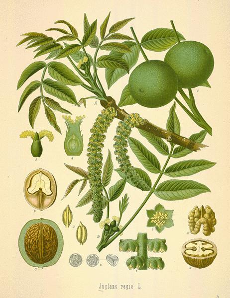 Black walnut_Juglans nigra -botanical